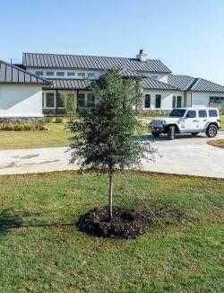 Small Live Oak tree.