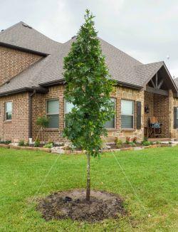 Small Red Oak Tree planted by Treeland Nursery.