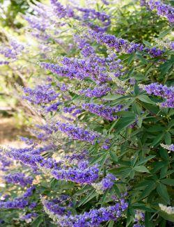 Shoal Creek Vitex flower detail.
