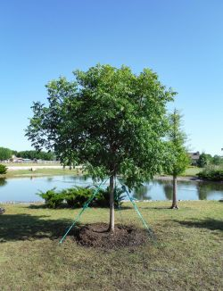 Chinese Pistachio trees for sale