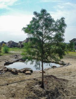 Bald Cypress tree installed by Treeland Nursery.