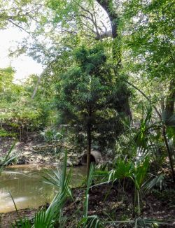 Bald Cypress tree installed in Dallas, TX by Treeland Nursery.
