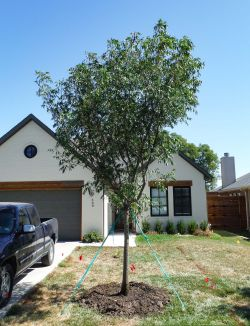 Chinese Pistachio tree planted in Dallas, TX.