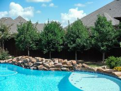 Tree Form Eagleston Hollies along pool