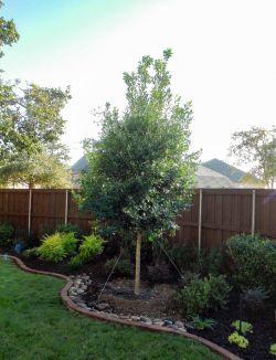 Tree Form Eagleston Holly Frisco, TX