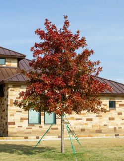 Red Oak tree with Fall Foliage.