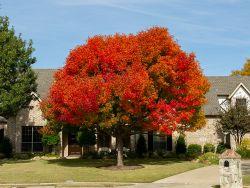 Stunning mature Chinese Pistachio tree with Fall foliage.