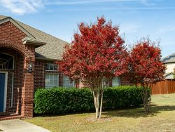 Muskogee Crape Myrtle with Fall foliage.