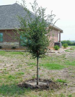 Lacebark Elm tree for sale in Dallas, TX. Treeland Nursery