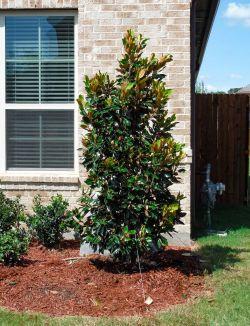 Little Gem Magnolias for sale Dallas, Tx.