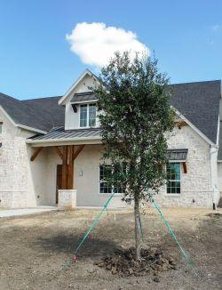 Live Oak tree Lucas, TX