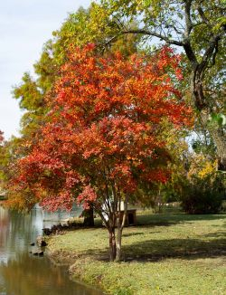 Natchez Crape Myrtle with Fall foliage.