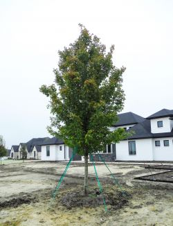 October Glory Maple planted in Southlake, TX