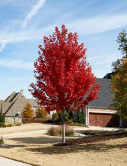 October Glory Maple tree with Fall Foliage