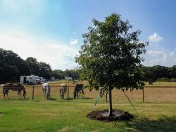 Red Oak tree planted at a horse ranch.