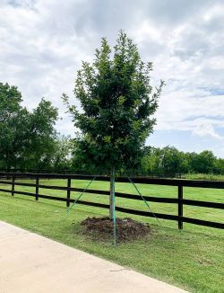 Red Oak tree planted in DFW by Treeland Nursery.