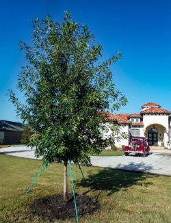 Red Oak tree planted in Lucas, Texas by Treeland Nursery.