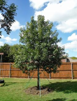 Large Red Oak tree planted in a backyard in Dallas, Tx.