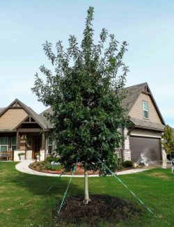 Red Oak tree planted in Dallas Fort Worth area by Treeland Nursery.