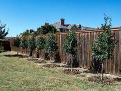 Tree Form Eagleston Hollies