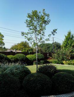 Texas Ash Tree Dallas, TX.