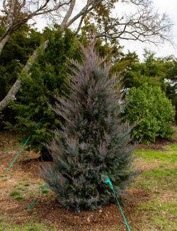 Eastern Red Cedar 'Burkii'