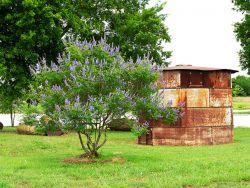 Vitex tree