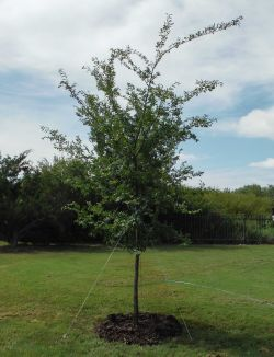 allee elm tree