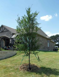 Allee elm tree installed by Treeland Nursery.