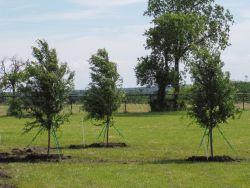 allee elm trees