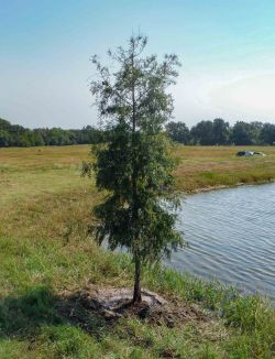 Young bald cypress tree installed along a pond by Treeland Nursery.