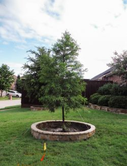 Bald Cypress tree installed in a frontyard by Treeland Nursery.