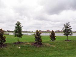 Bald Cypress and Little Gem Magnolias installed by Treeland Nursery.