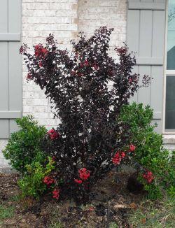 Black Diamond Crape Myrtle installed by Treeland Nursery.