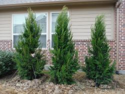 Brodie Eastern Red Cedars installed along a side yard for privacy.