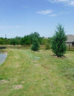 Burkii Eastern Red Cedars installed around a pond by Treeland Nursery.