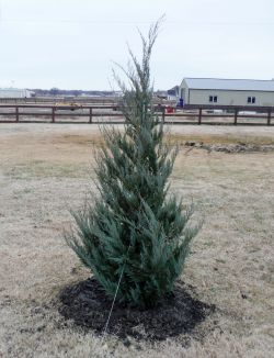 Burkii Eastern Red Cedar installed by Treeland Nursery.