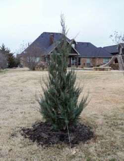 Burkii Eastern Red Cedar installed in a backyard by Treeland Nursery.