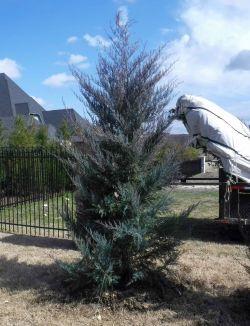 Burkii Eastern Red Cedar installed during the Winter by Treeland Nursery.