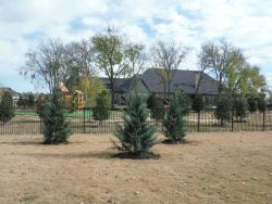 Burkii Eastern Red Cedars installed to create a privacy screen.