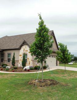 Brandywine Maple tree installed in a frontyard by Treeland Nursery.