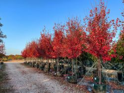 Row of Brandywine Maple trees photographed in the Fall at Treeland Nursery.