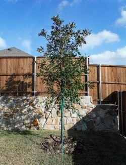 Bur Oak tree installed in a backyard by Treeland Nursery.