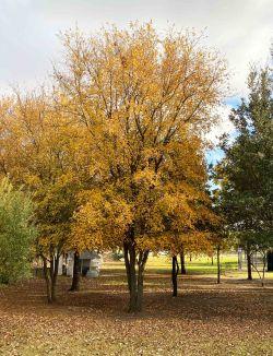 Mature Cedar Elm photographed during the Fall at Treeland Nursery.