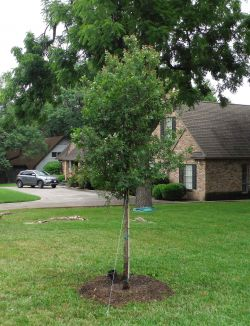 Cedar Elm tree installed by Treeland Nursery.