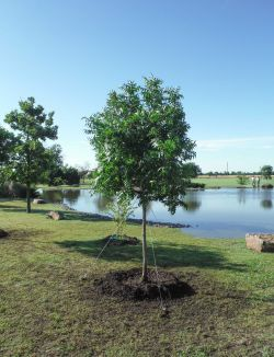 Chinese Pistachio installed into a beautiful landscape around a pond.