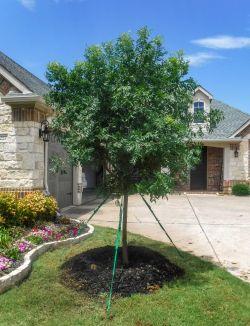 Chinese Pistachio tree installed in a frontyard by Treeland Nursery.