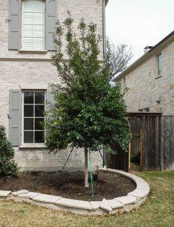 Large Eagleston Holly installed in a frontyard flower bed by Treeland Nursery.