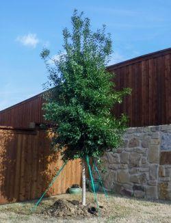 Eagleston Holly installed in a backyard by Treeland Nursery.