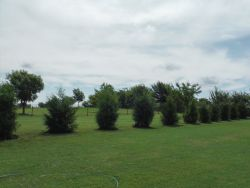 Small Eastern Red Cedars installed to create a privacy screen.